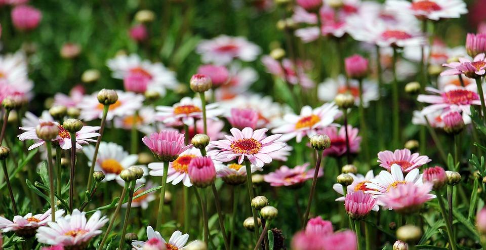 flores-jardín-margarita