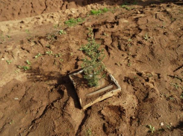plantando con Groasis Growboxx