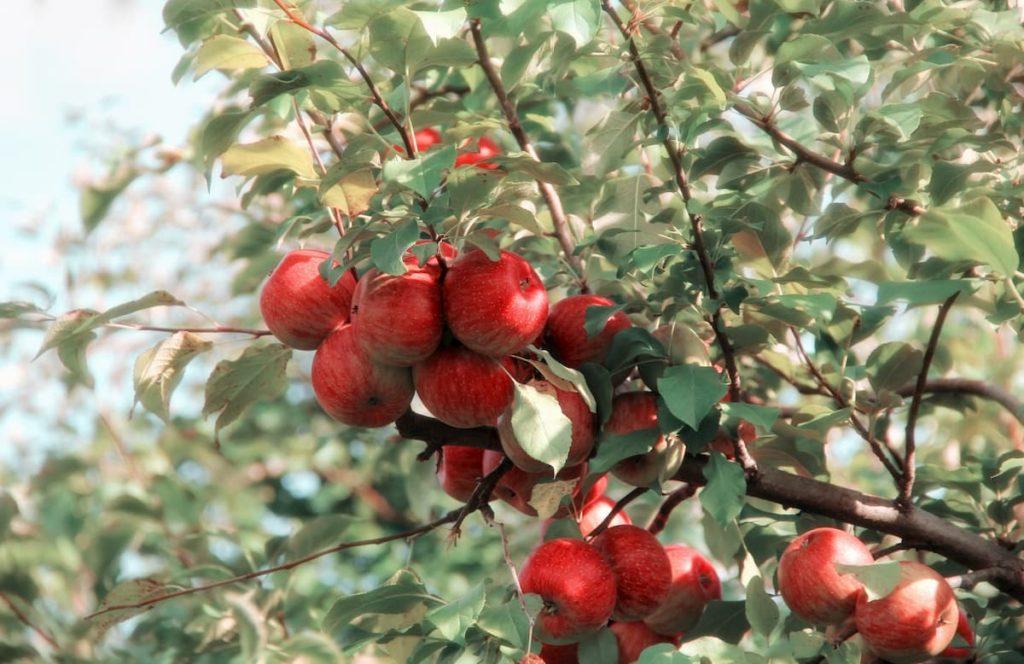 cuando abonar arboles frutales